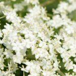 Flor de Saúco para la Tos el Excelente Remedio Natural