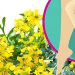 Plantas para curar varices – Lista de las mejores 10