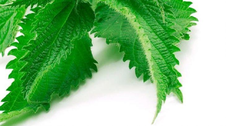 Propiedades de la ortiga para las varices ¡Elimina el