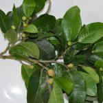 Conoce los Beneficios de las hojas de ramón para nuestra Salud